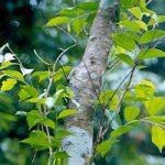 Сандалове дерево